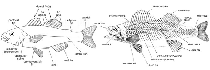 Fish Skeletal Structure | United Fisheries
