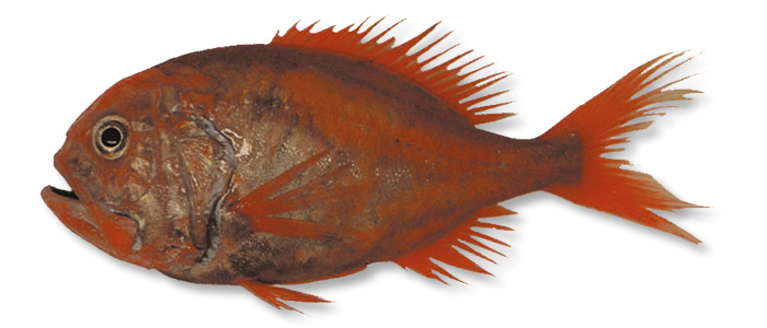 Orange Roughy - Hoplostethus atlanticus