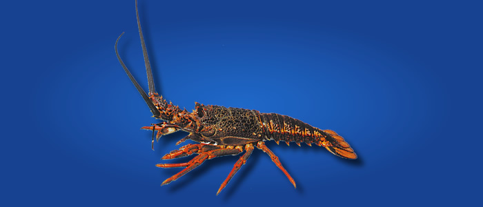 Spiny Rock Lobster - Jasus edwardsii