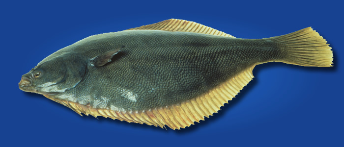 Yellowbelly Flounder - Rhombosolea leporina