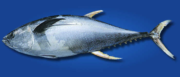 Yellowfin Tuna - Thunnus albacares